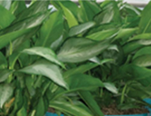 Encourage New Cane Plant Growth