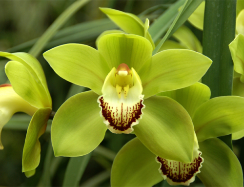 Cymbidium Orchids… Rare Beauties