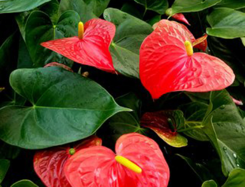 Anthuriums for Foliage Color
