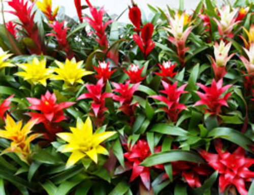 How to Care for Bromeliads