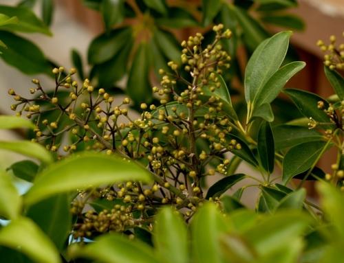 How to Prune Arboricolas