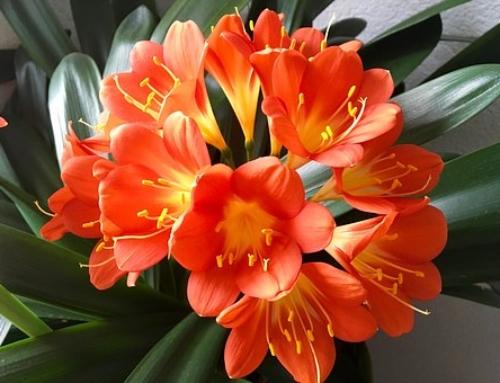 Plant Spotlight – Clivia miniata