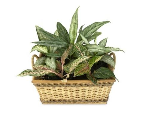 Plant Spotlight – Aglaonema