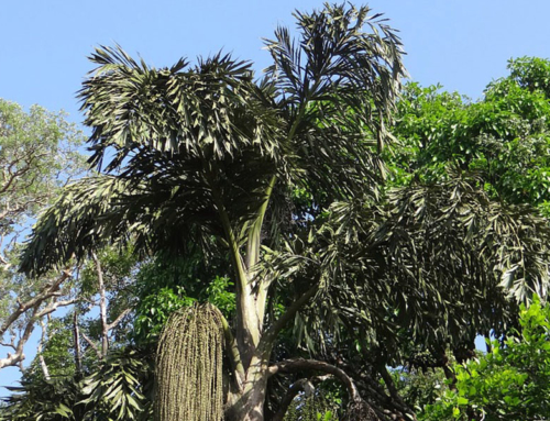 Plant Spotlight – Fishtail Palms