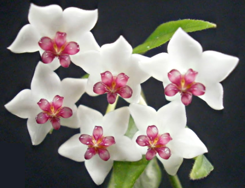 Spotlighting: Hoya bella