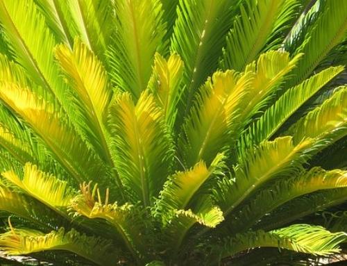Plant Spotlight – Chamaedorea falcifera